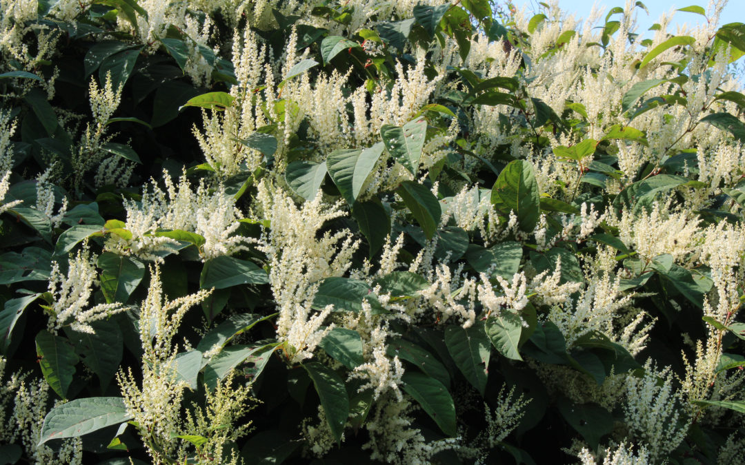 Do You Have A Japanese Knotweed Problem In Your Garden?